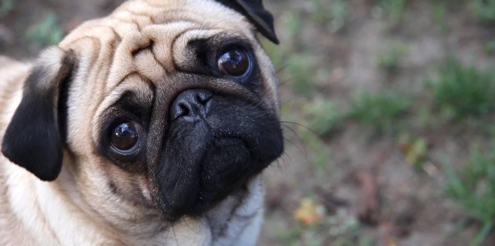 What does Pathos mean -Pathos Definition - Pathos Examples - Aristotle Rhetoric - Puppy
